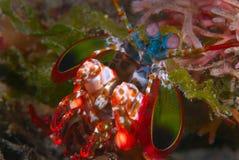 Gambero di Mantis del pavone Fotografia Stock