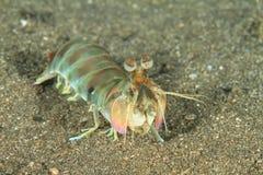 Gambero di mantis favoloso fotografie stock