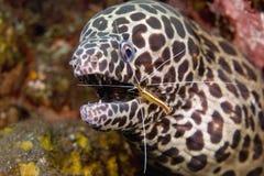Gambero più pulito con l'anguilla di Moray Immagini Stock