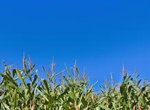 Gambi del cereale con cielo blu nei precedenti Immagini Stock