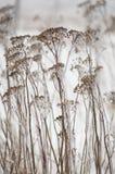 Gambi del millefoglio coperti in ghiaccio Fotografia Stock