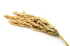 Gambi del riso immagini stock