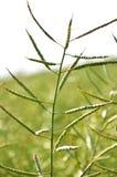 Gambi del seme di ravizzone con i baccelli Fotografia Stock Libera da Diritti