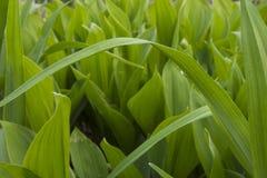 Gambi dell'erba della molla fotografia stock