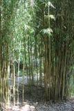 Gambi di bambù Fotografie Stock Libere da Diritti