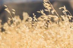 Gambi di erba gialla dorata Fotografia Stock Libera da Diritti