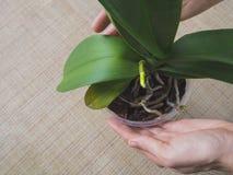 Gambi di fuga delle orchidee Gambi e foglie dei fiori dell'orchidea Fotografia Stock