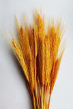 Gambi di grano Immagini Stock