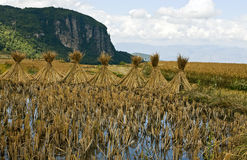 Gambi di secchezza di riso in Cina immagini stock