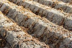 Gambi e foglie morti e secchi poco prima i harves della patata Immagine Stock