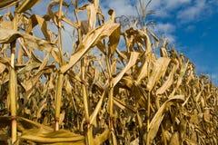 Gambi ed orecchie maturi del cereale Immagini Stock Libere da Diritti