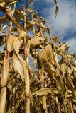 Gambi ed orecchie maturi del cereale Immagine Stock Libera da Diritti