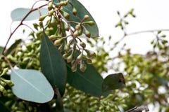 Gambi freschi dell'eucalyptus in vaso del vetro trasparente isolato su bianco immagini stock libere da diritti