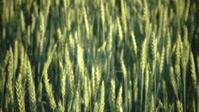 Gambi non maturi di verde della fine del grano su Il vento oscilla le orecchie mature di grano nel campo nel giorno soleggiato video d archivio