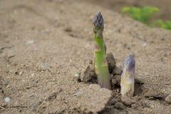 Gambi verdi dell'asparago Fotografia Stock Libera da Diritti