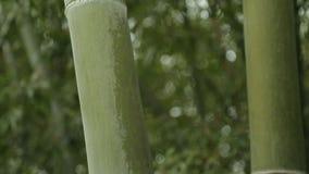 Gambi verdi potenti di bambù, natura non trattata, clima tropicale, forza archivi video