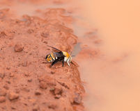 Gambia Bee. Large colourful bee drinking from puddle in The Gambia royalty free stock photography