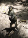 Gambian Ancestry. An element of Gambian Wildlife, living in hope royalty free stock image