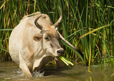 Gambian cow eating reed plants Royalty Free Stock Images