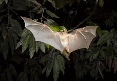 Gambian epauletted fruit bat (Epomophorus gambianus). Royalty Free Stock Photography
