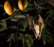 Gambian epauletted fruit bat (Epomophorus gambianus) approaching mango fruits. Stock Images