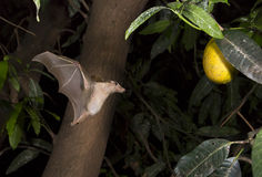 Gambian epauletted fruit bat (Epomophorus gambianus) approaching mango fruits. Royalty Free Stock Photo