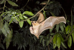 Gambian epauletted fruit bat (Epomophorus gambianus) flying with a baby on the belly. Royalty Free Stock Photography