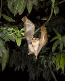 Gambian epauletted fruit bat (Epomophorus gambianus) flying with a baby on the belly. Royalty Free Stock Images