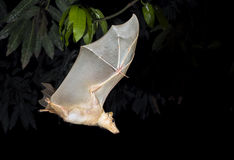 Gambian epauletted fruit bat (Epomophorus gambianus) flying. Stock Photo