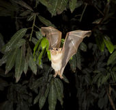Gambian epauletted fruit bat (Epomophorus gambianus) flying. Stock Photography