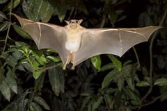 Gambian epauletted fruit bat (Epomophorus gambianus) flying. Royalty Free Stock Photos