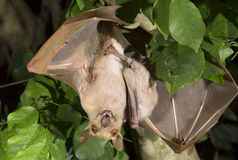 Gambian epauletted fruit bat (Epomophorus gambianus) hanging in a tree with baby on the belly. Royalty Free Stock Photo