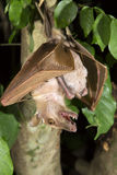 Gambian epauletted fruit bat (Epomophorus gambianus) hanging in a tree with baby on the belly. Stock Image