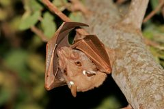 Gambian epauletted fruit bat Stock Photography