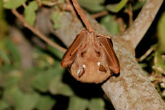 Gambian epauletted fruit bat Stock Images