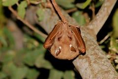 Gambian epauletted fruit bat Stock Images