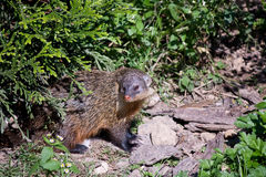 Gambian mongoose. (Mungos gambianus) under young tree Royalty Free Stock Photography