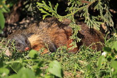 Gambian mongoose. The gambian mongoose lying in the grass Royalty Free Stock Photos