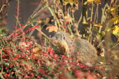 Gambian mongoose Stock Photos