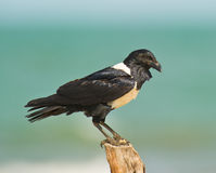 Gambian Pied Crow. The Pied Crow (Corvus albus) inhabits the coastal areas in The Gambia Stock Image