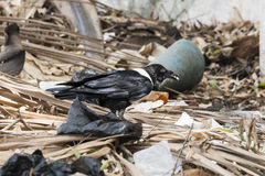 Gambian Pied Crow Stock Images