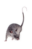 Gambian pouched rat, 3 month old, on white Royalty Free Stock Image