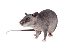 Gambian pouched rat, 3 month old, on white Stock Images