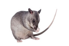 Gambian pouched rat, 3 month old, on white Royalty Free Stock Photo