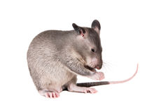 Gambian pouched rat, 3 month old, on white Royalty Free Stock Images
