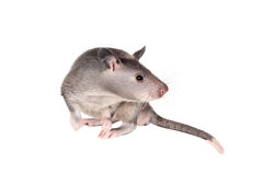 Gambian pouched rat, 3 month old, on white Stock Image