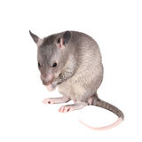 Gambian pouched rat, 3 month old, on white Stock Photo