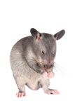 Gambian pouched rat, 3 month old, on white Stock Photography