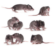Gambian pouched rat set, 3 week old, on white Royalty Free Stock Images