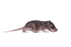 Gambian pouched rat, 3 week old, on white Royalty Free Stock Image